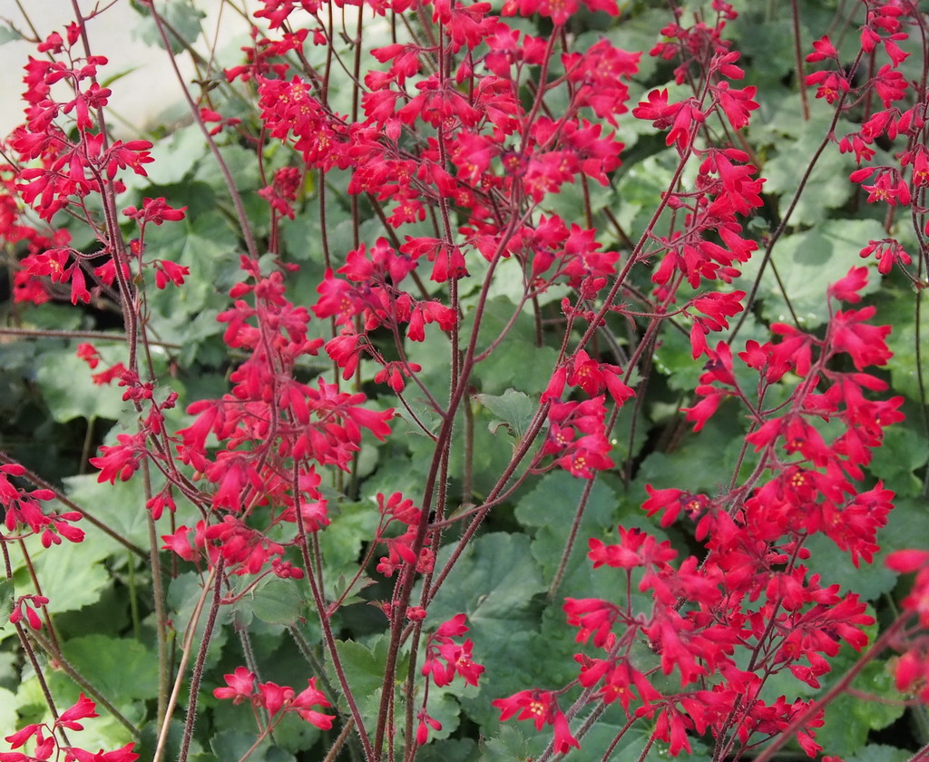 Heuchera   HE65102 big